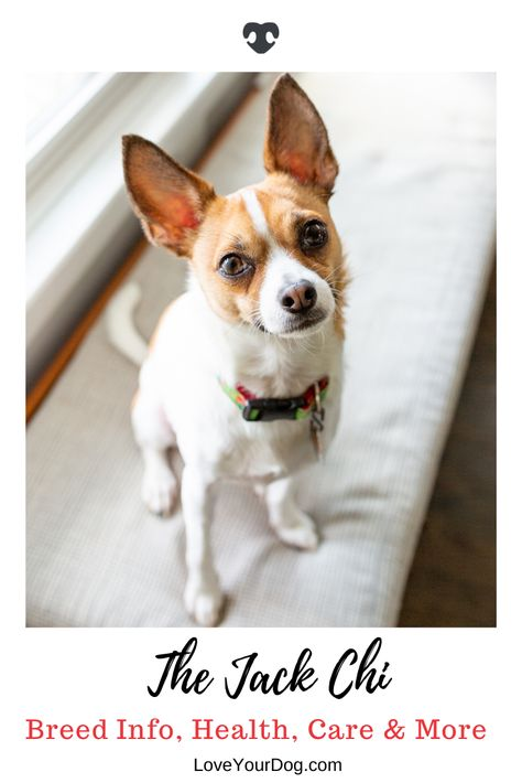 Jack Russell Terrier Chihuahua Mix Jack Chi Breed Info Facts