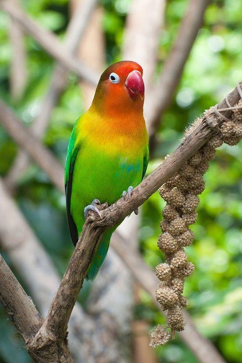 240 Ideas De Agapornis Periquitos Aves Loros