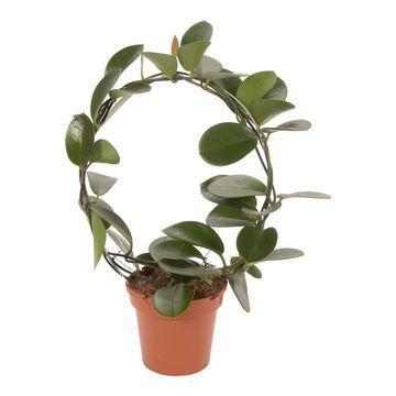 Hoja Australijska 45 Cm Plants