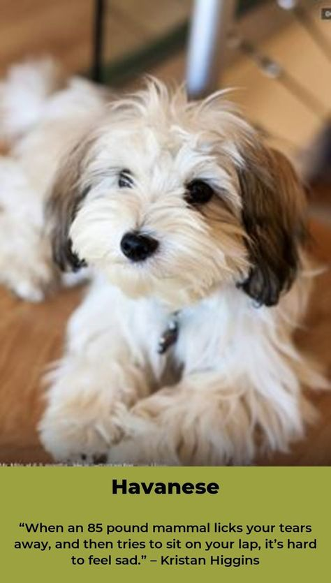 Havanese Intelligent And Funny Havanese Dogs Havanese Puppies