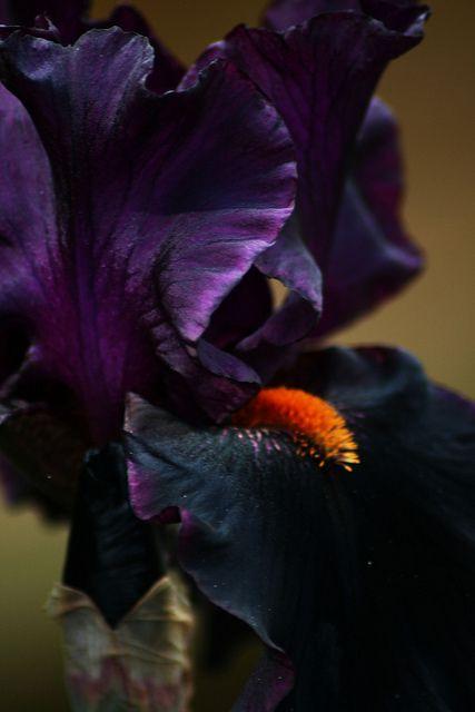 """American Hybrid Iris """"Draculas Kiss"""""""
