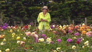 Dahlias Fact Sheets Gardening Australia Gardening Australia Growing Dahlias Colorful Flowers Arrangements