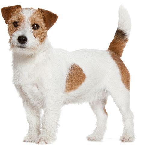 Kleine Hunderassen Hunderassen Hunde Rassen Hunderassen Kleine Hunde