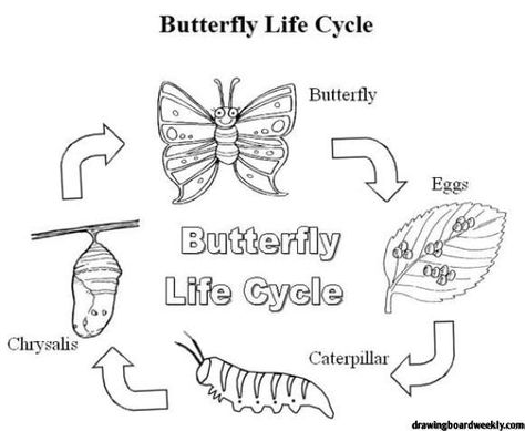 Butterfly Life Cycle Coloring Page In 2020 Butterfly Coloring Page Butterfly Life Cycle Butterfly Metamorphosis