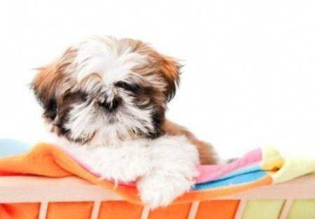 Everything About Cute Shih Tzu Puppy Grooming Shihtzusociety