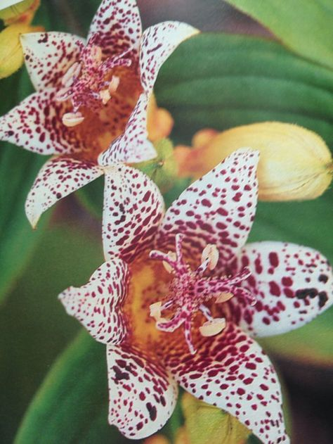 Tricyrtis. Toad Lily: | Flores 2 | Pinterest | Fleur jardin, Fleurs ...