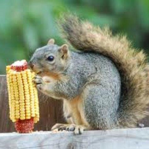 What do baby squirrels eat.   Baby Squirrel Diet