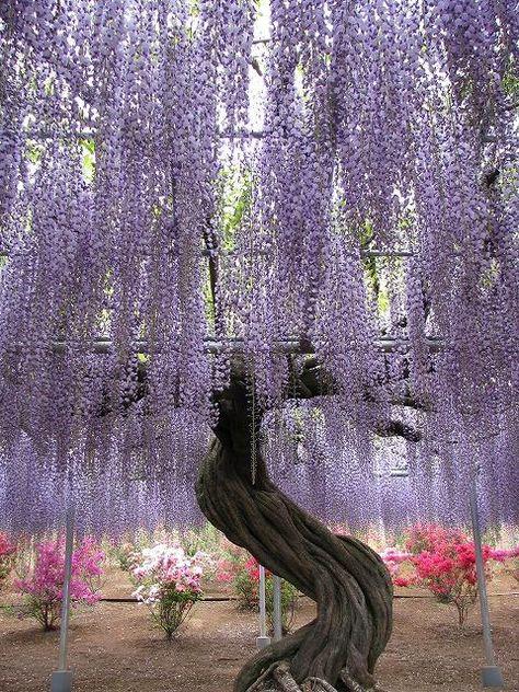 Large wisteria
