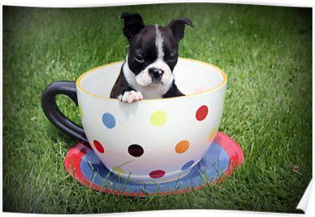 Liste Der Teetassen Hunderassen Mit Bildern Hunderassen Hunde