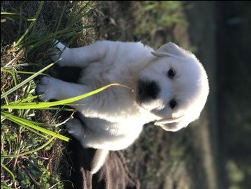 Litter Of 6 Golden Retriever Puppies For Sale In Spring Green Wi
