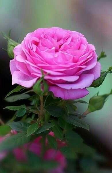 اجمل وردة طبيعية صور أجمل 9