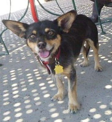 Lathrop California Terrier Unknown Type Small Meet Buddy A