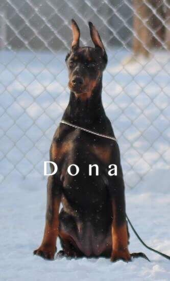 Doberman Pinscher Puppy For Sale In Murrieta Ca Adn 65857 On