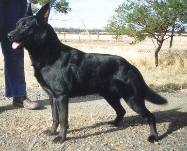 Black Australian Kelpie Australian Kelpie Working Dogs Rare Breed