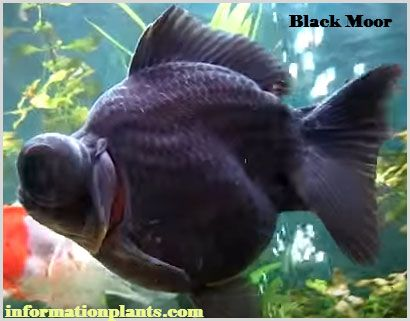 سمك الزينة التلسكوبية السوداء سمك زينة انواع الاسماك معلومان عامه معلوماتية نبات حيوان اسماك فوائد Fish Pet Animals Pets