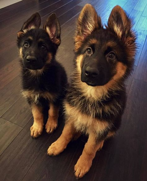 Fwiends  #fwiends #dogsofinsta #instapuppy #instapic #picoftheday #dogoftheday #dogslife #life #of  Fwiends  #fwiends #dogsofinsta #instapuppy #instapic #picoftheday #dogoftheday #dogslife #life #of #dogs #pets #cute #friends #bestfriends #dog #puppy # #dogphotography #german #shepherd #germanshepherd #puppies #cuties #germanshepherdpuppy #together #