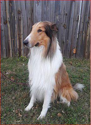 Wichita Ks Collie Meet Finley A Pet For Adoption Pets Calm