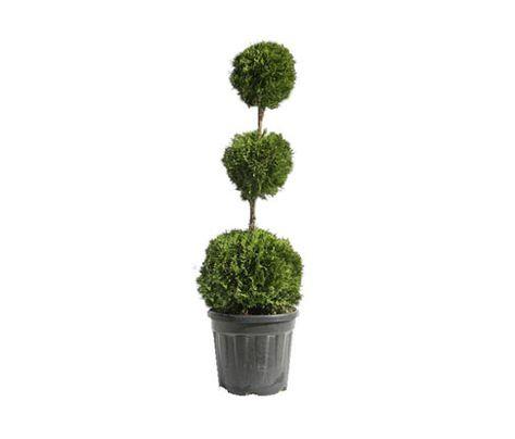 Formgeholz Kugel Pflanzen Immergrune Baume Formgeholze