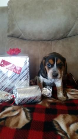 Beagle Puppy For Sale In East Earl Pa Adn 56429 On Puppyfinder
