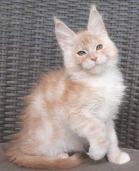Timaracoon S Cross Fire 12 Weeks Red Smoke White Boy
