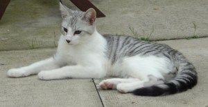 White Cat With Grey Tabby Spots Grey And White Cat Grey Tabby Cats Spotted Cat