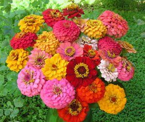 400 + Pumila Zinnia Flower BULK Seeds MIXED COLORS By Honeyman Farms.  $1.29. Superb For Cutting And Border Displays. Blooms Freely From Early  Summeu2026