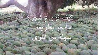 البيت العربي كيف تزرع شجرة مانجو بطريقة سهلة من النوى Lockscreen Blog Posts