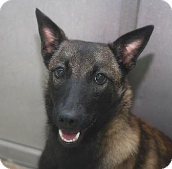 Pin By Elizabeth Torres On Adopt Adog Belgian Malinois Pets Dogs