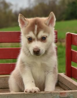 Husky Puppies For Sale Lancaster Puppies Lancaster Puppies