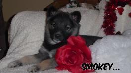 Smokey Norwegian Elkhound Hybrid Puppy For Sale In Shreve Oh In
