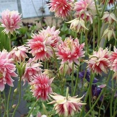 RARE FLOWER 50 seeds Aquilegia Vulgaris Nora Barlow COLUMBINE PINK