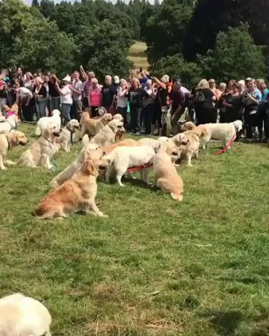361 Golden Retrievers Celebrating The 150th Anniversary Of The