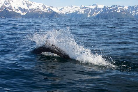 Dall's Porpoise - Kenai Fjords National Park