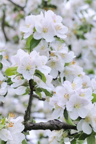 Apple Blossom Medium Close Up Apple Tree Tree Spring Photographic Print Herbert Kehrer Art Com Apple Blossom Flower Apple Flowers Apple Tree Blossoms
