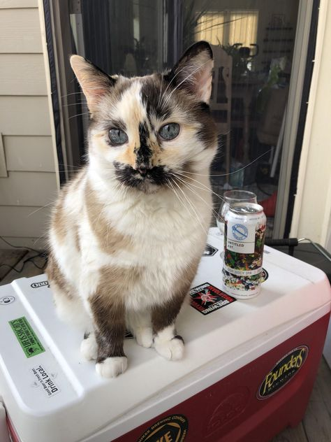 These pretty cats will bring you joy. Cats are incredible companions. Pretty Cats, Beautiful Cats, Animals Beautiful, I Love Cats, Crazy Cats, Cool Cats, Cute Kittens, Cats And Kittens, Siamese Cats