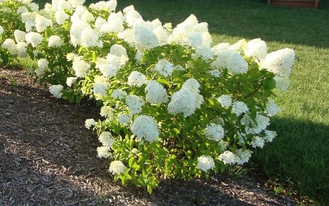 Little Lime Hydrangea - 3-4' Ht x 4' spread. Zone 3-9 - Prune in late winter/early spring. Apply a controlled release fertilizer in early spring. A supplemental dose of liquid feed may be needed in mid summer. Soil pH does not affect bloom colo
