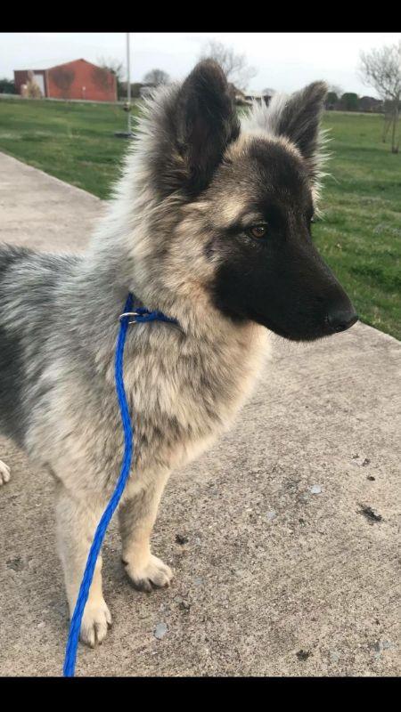 German Shepherd Dog Dog For Adoption In Dallas Tx Adn 823587 On