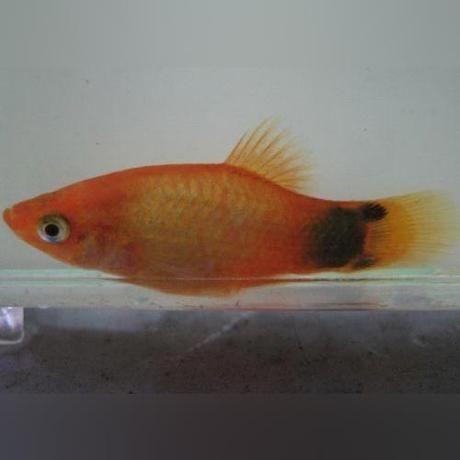 Assorted Mickey Mouse Platy Lot Of 6 Koi Fish Mickey Mouse Fish Information