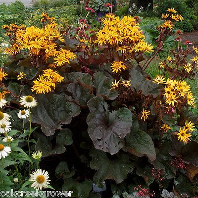 Shade BRITT MARIE CRAWFORD Ligularia Butterfly Garden Healthy✿Live Potted  Plant✿ | Plants