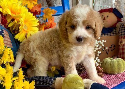 Finn Cavapoos R Us Cavapoo Puppies For Sale Cavapoo Puppies