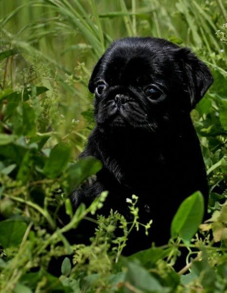 Baby Pug Dog Rate Black Pug Puppies Baby Pugs Baby Pug Dog
