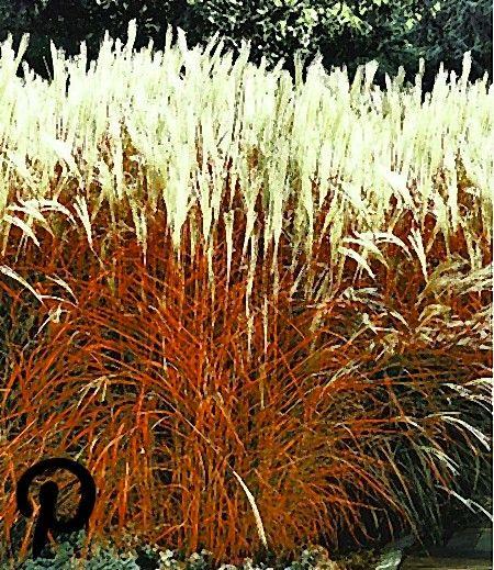 Ziergras Indian Summer 1 Pflanze Ziergras Graser Im Garten Pflanzen Kaufen