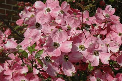 Find Cherokee Brave Flowering Dogwood (Cornus florida 'Cherokee Brave') in Boston Concord Sudbury Weston Newton Lexington Massachusetts MA at Stonegate Gardens