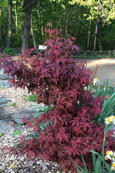 Japanese Maples Acer Palmatum Kandy Kitchen Mary Mary Quite