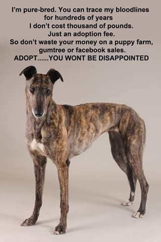 Pin By Ruth Hagenbaugh On Greyhounds Are Addicting Pure Bred