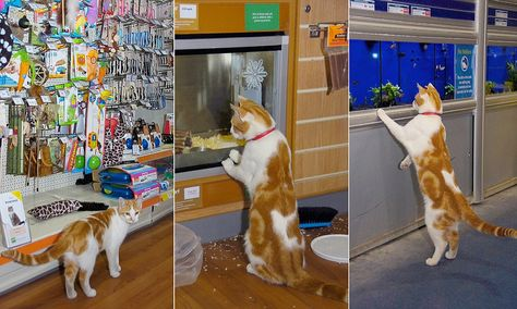 Video Graham The Cat Visits Pets At Home Store Every Day Paying Particular Attention To The Mice And Fish For Sale Pets Cats Pet Home