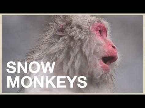 Visiting The Japanese Snow Monkeys Cutest Animals In Japan Trip Youtube Snow Monkey Japan Travel Snow Animals