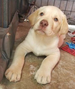 Labrador Retriever Puppy For Sale In Neeses Sc Adn 65900 On Puppyfinder Com Gender Male Age 6 Weeks Labrador Retriever Labrador Retriever Puppies Labrador