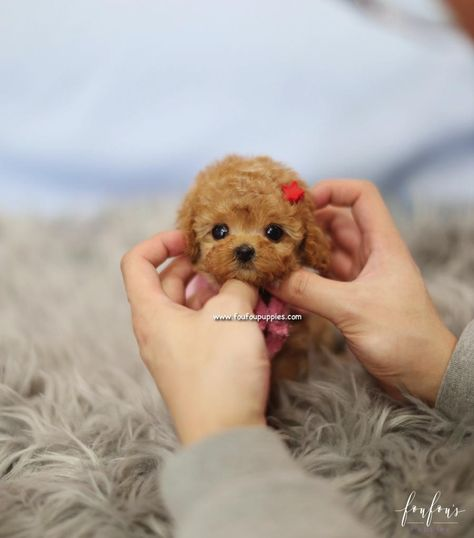Teacup Puppies for Sale   Teacup Puppy   Miniature Toy Dogs