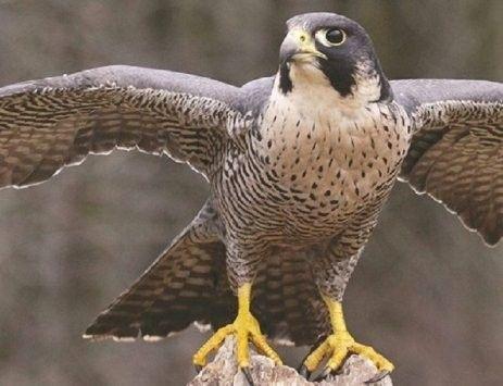 صقر الشاهين يعيش في دولة الامارات العربيه Shaheen Falcon Animals Photo Owl